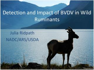 Identification and Effect of BVDV in Wild Ruminants