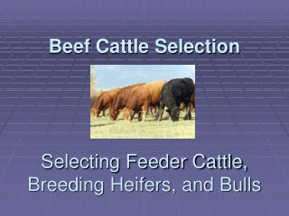Meat Cattle Selection Selecting Feeder Cattle, Breeding Heifers, and Bulls