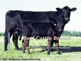 Hamburger Cattle Breeds