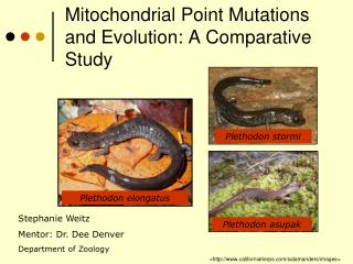 Mitochondrial Point Mutations and Evolution: A Comparative Study
